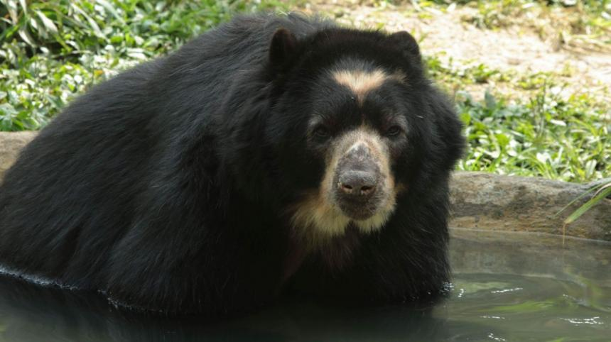 El oso de anteojos, el puma, la danta de páramo y el cóndor de los Andes fueron declarados como animales insignia de Ibagué
