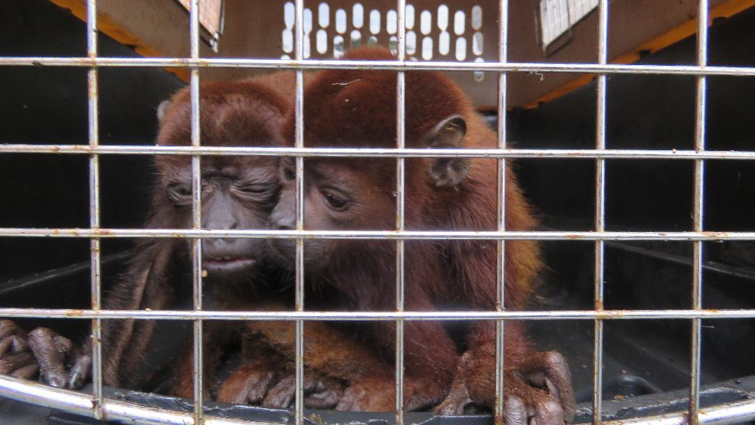Aberrante: Vendían 'monos aulladores' en una esquina del barrio San Antonio en Ibagué