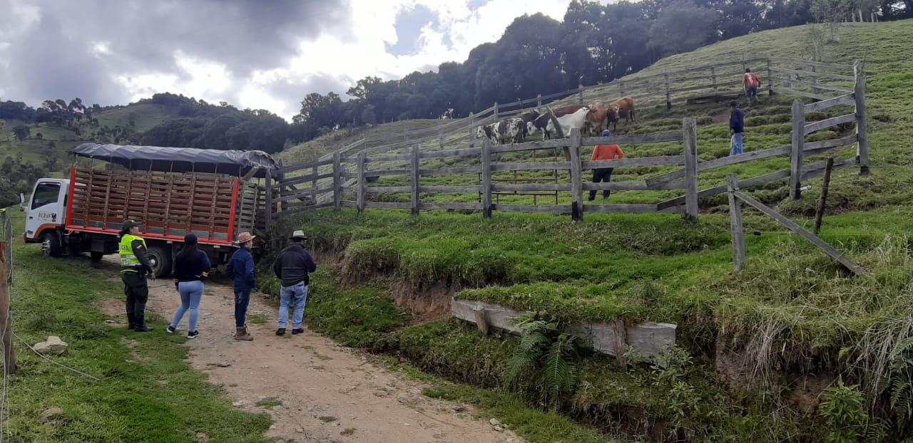 Policía recuperó ganado avaluado en $17,5 millones robado en el Tolima y que llevaban hacia el Valle del Cauca