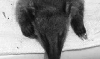 Cortolima denuncia nuevo caso de maltrato y cacería ilegal de animales en el norte del Tolima