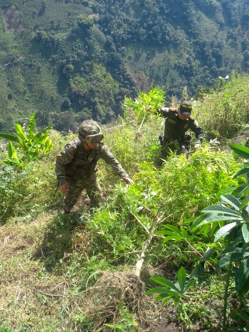 Destruyeron cultivo de marihuana en Juntas