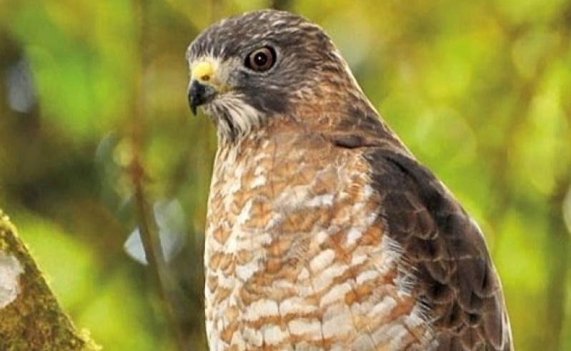 Llegaron las águilas cauresmeras al Tolima