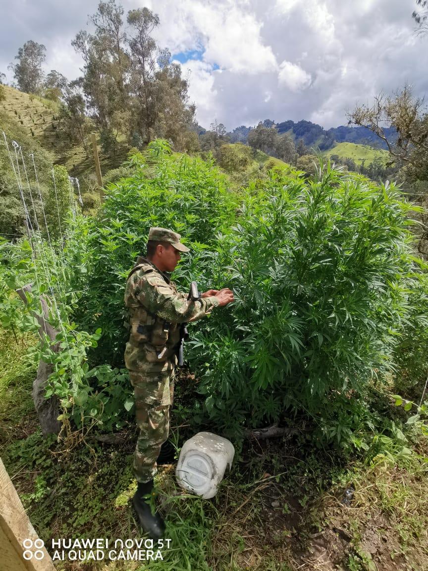Trescientas matas de marihuana fueron erradicadas por soldados de la Sexta Brigada