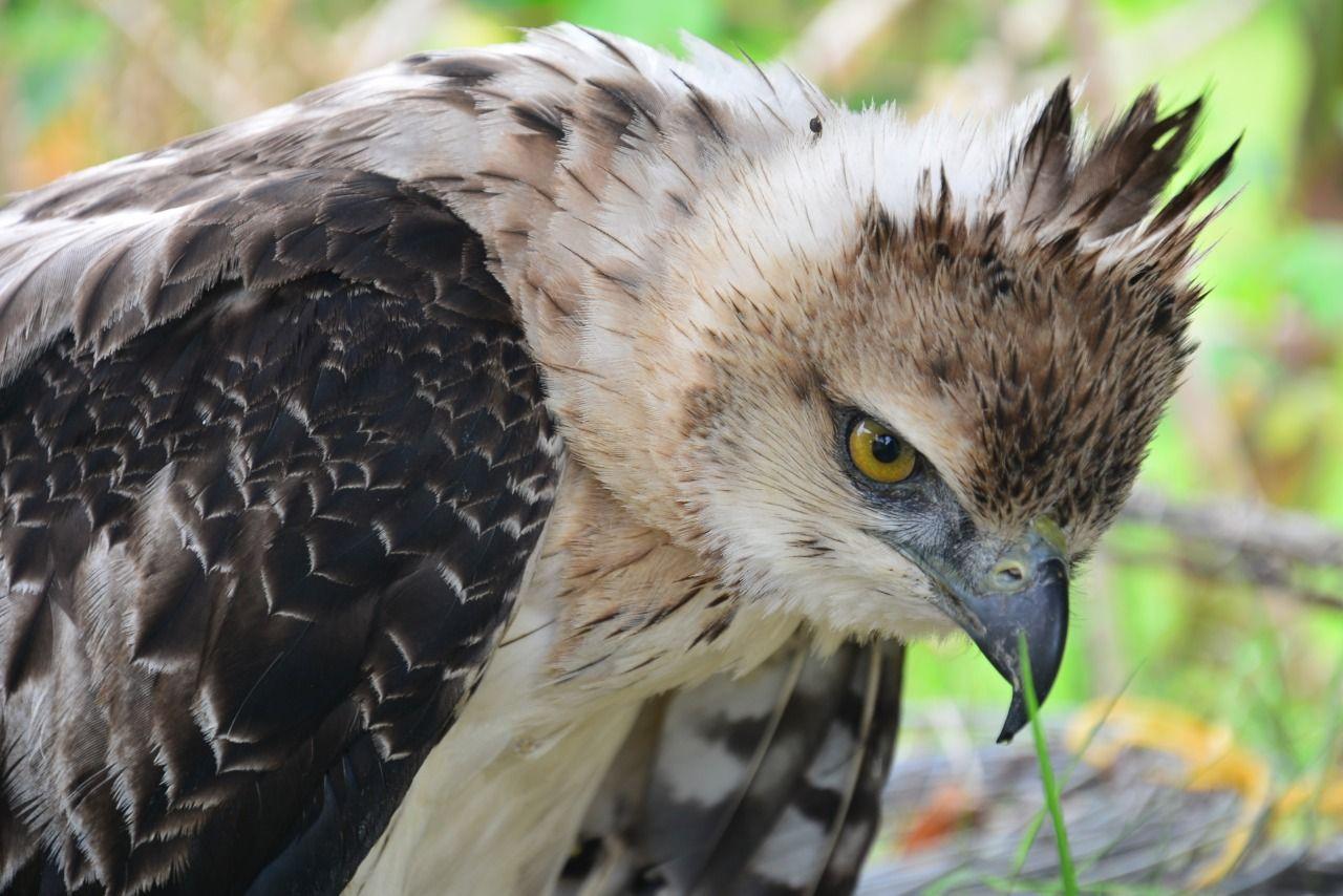 Águila crestada, rescatada en la vereda Mesa de Pole de Ataco