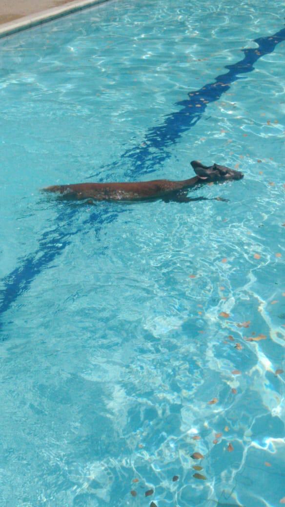 Policía y comunidad rescataron a pequeño venado de una piscina