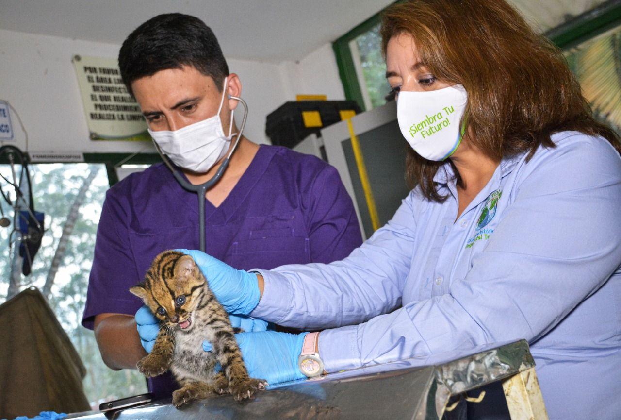En el sur del Tolima: Rescataron a tigrillo de zona donde hubo disparos
