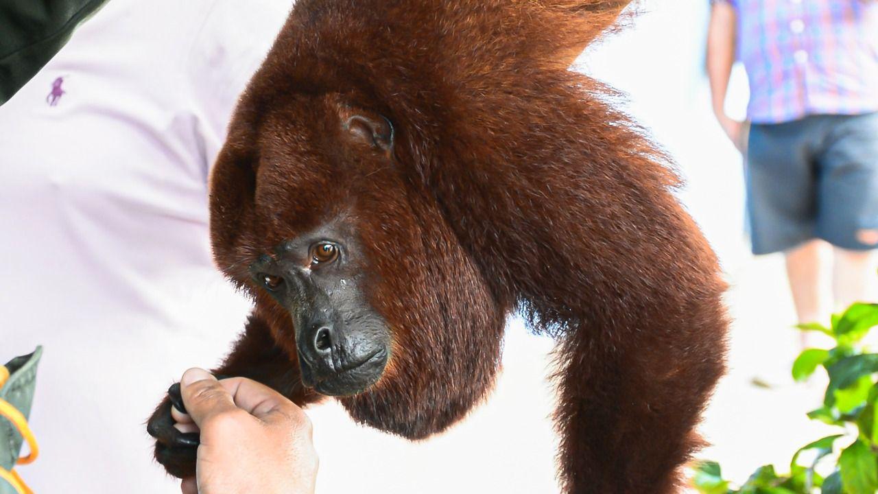 El estado de salud del mono aullador rescatado en Piedras Tolima es reservado