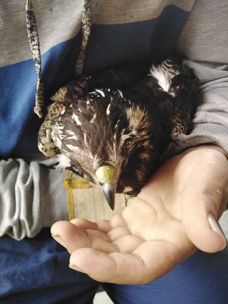 Águila Coliblanca fue rescatada en zona rural de Ibagué