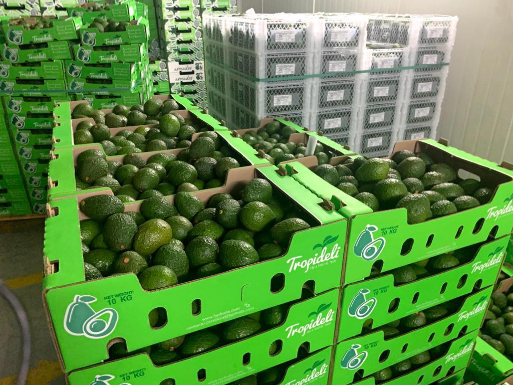 Tolima se alista para exportar más de dos millones y medio de kilos de aguacates